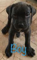 Cane Corso Puppies for sale in Seaford, DE 19973, USA. price: NA