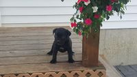 Cane Corso Puppies for sale in New Haven, IN, USA. price: NA