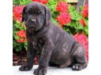 Cane Corso Puppies for sale in Virginia Beach, VA, USA. price: NA