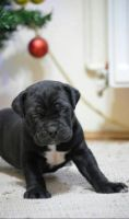 Cane Corso Puppies for sale in Asheville, NC, USA. price: NA