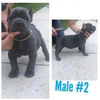 Cane Corso Puppies for sale in Ocala, FL, FL, USA. price: NA