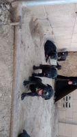 Cane Corso Puppies for sale in Laveen Village, Phoenix, AZ, USA. price: NA