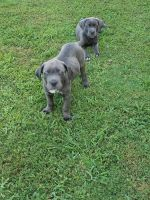 Cane Corso Puppies for sale in 1058 W Club Blvd, Durham, NC 27701, USA. price: NA