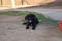 Cane Corso Puppies for sale in Phoenix, AZ 85043, USA. price: NA