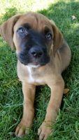 Cane Corso Puppies for sale in Modesto, CA, USA. price: NA
