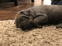 Cane Corso Puppies for sale in Columbia, SC, USA. price: NA