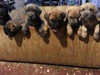 Cane Corso Puppies for sale in Hamilton Township, NJ, USA. price: NA