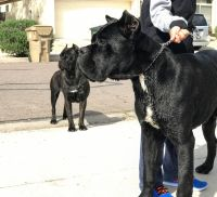 Cane Corso Puppies for sale in Goodyear, AZ, USA. price: NA