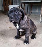 Cane Corso Puppies for sale in Grand Rapids, MI, USA. price: NA