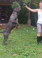 Cane Corso Puppies for sale in Crooksville, OH 43731, USA. price: NA