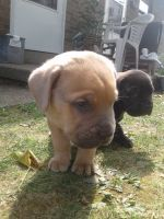 Cane Corso Puppies for sale in New Kensington, PA 15068, USA. price: NA