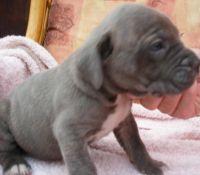 Cane Corso Puppies for sale in San Francisco, CA 94133, USA. price: NA