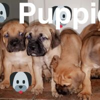 Cane Corso Puppies for sale in Independence, OH, USA. price: NA