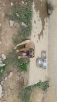 Cane Corso Puppies for sale in Randallstown, MD, USA. price: NA