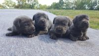 Cane Corso Puppies for sale in St. Louis, MO, USA. price: NA
