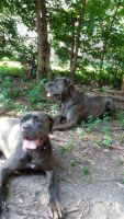 Cane Corso Puppies for sale in Chicago, IL, USA. price: NA