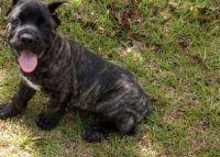 Cane Corso Puppies for sale in Atmore, AL 36502, USA. price: NA