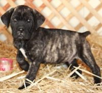 Cane Corso Puppies for sale in Castine, ME, USA. price: NA
