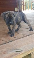 Cane Corso Puppies for sale in Florissant, MO, USA. price: NA
