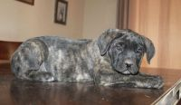 Cane Corso Puppies for sale in Glasston, ND 58236, USA. price: NA