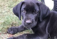 Cane Corso Puppies for sale in Spartanburg, SC, USA. price: NA