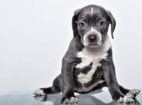 Cane Corso Puppies for sale in Ohio St, Lawrence, KS, USA. price: NA