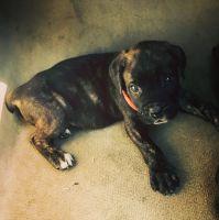 Cane Corso Puppies for sale in Gwinnett County, GA, USA. price: NA