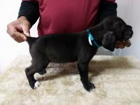 Cane Corso Puppies for sale in Akron, OH 44314, USA. price: NA