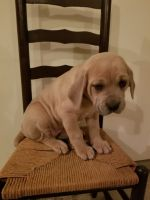 Cane Corso Puppies for sale in Narvon, PA 17555, USA. price: NA
