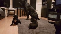 Cane Corso Puppies for sale in TX-249, Houston, TX, USA. price: NA