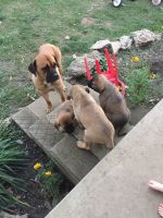 Cane Corso Puppies for sale in Flemingsburg, KY 41041, USA. price: NA