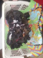 Cane Corso Puppies for sale in Roseburg, OR, USA. price: NA
