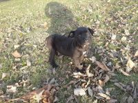 Cane Corso Puppies for sale in Columbus, OH 43205, USA. price: NA