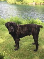 Cane Corso Puppies for sale in Conneaut, OH 44030, USA. price: NA