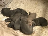 Cane Corso Puppies for sale in Dayton, OH 45439, USA. price: NA