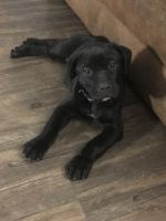 Cane Corso Puppies for sale in Crothersville, IN 47229, USA. price: NA