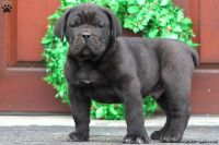 Cane Corso Puppies for sale in Gap, PA, USA. price: NA