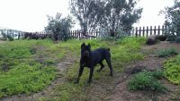 Cane Corso Puppies for sale in Perris, CA 92570, USA. price: NA