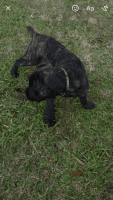 Cane Corso Puppies for sale in Austell, GA, USA. price: NA