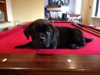 Cane Corso Puppies for sale in Alaska St, Staten Island, NY 10310, USA. price: NA