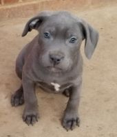 Cane Corso Puppies for sale in Charlotte, NC, USA. price: NA