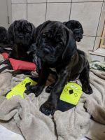 Cane Corso Puppies for sale in Dallas, TX, USA. price: NA