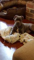 Cane Corso Puppies for sale in Chester, VA, USA. price: NA