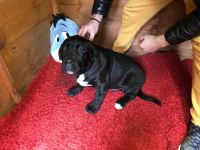 Cane Corso Puppies for sale in Norwich, CT 06360, USA. price: NA