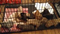 Cane Corso Puppies for sale in Phoenix, AZ, USA. price: NA