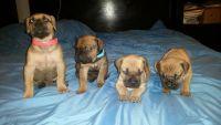 Cane Corso Puppies for sale in Philadelphia, PA, USA. price: NA