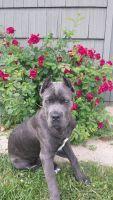 Cane Corso Puppies for sale in Menasha, WI, USA. price: NA