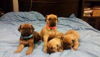 Cane Corso Puppies for sale in San Francisco, CA, USA. price: NA