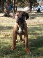 Cane Corso Puppies for sale in Dayton, OH, USA. price: NA
