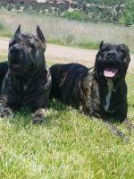 Cane Corso Puppies for sale in Cortez, CO 81321, USA. price: NA